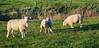 IMG_4852-1 (Andre56154) Tags: deutschland germany easternfriesland ostfriesland küste coast nordsee northsea tier animal gras grasland weide willow schaf sheep