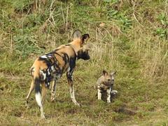 Doting Mum. (Sharon B Mott) Tags: painteddogs painteddogpup pup babyanimal animal nature yorkshirewildlifepark africanwilddogs