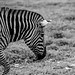 Axe Valley Wildlife Park - Zebra