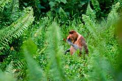 Proboscis monkey (Bryn Tassell) Tags: bako bakonationalpark borneo jungle mala malaysia tropical proboscis monkey longnosed bekantan nasalis larvatus