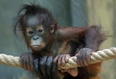 orangutan Ouwehands JN6A9533 (j.a.kok) Tags: orangutan orangoetan orang ouwehands ouwehandsdierenpark ouwehandszoo mammal zoogdier primaat primate ape aap monkey sumatra borneo mensaap sabbar juwel
