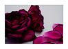Beauty In An Old Rose (paulinecurrey) Tags: rose old beautiful pretty decay crispyedges loosepetals whitebackground darkpink canon macro closeup digital whiteborder art creative purple naturallight bokeh blur soft