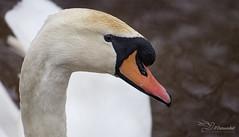 Swan (Paula Darwinkel) Tags: swan muteswan bird wildlife nature animal