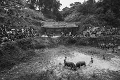 丹寨吃新节斗牛 03 (eaostudio) Tags: minority folkways bullfighting buffaloes festival eao bw 黑白 單色 戶外