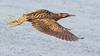 060.3 Roerdomp-20170120-J1701-43158 (dirkvanmourik) Tags: boetjevanonzekees castricum duinreservaat greatbittern roerdomp vogelsvannederland bird botaurusstellaris