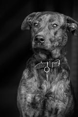 Leia (sameul58) Tags: portraitnb nb chien animal bw blanckandwhite ef85mmf18 eos60d