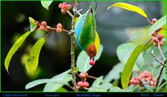 BAY-HEADED TANAGER Tangara gyrola Eating Strangler Fig Fruit in Mindo, ECUADOR. Tanager Photo by Peter Wendelken. (Neotropical Pete) Tags: bayheadedtanager bayheadedtanagereatingfruit bayheadedtanagerinecuador tanager tangaragyrola tangara tangaracabecicastaña sairadecabeçacastanha thraupidae ecuadortanagers southamericantanagers ecuadorbirds southamericanbirds neotropicalbirds mindotanagers stranglerfigfruit birdeatingstranglerfigfruit ficus mindo pichinchaprovince ecuador tanagerphotobypeterwendelken peterwendelken ngc