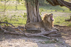 Lion (Michael Zahra) Tags: africa zambia safari travel tour canon 7d2 5d3 savannah forest grassland advanture mammal animal wildlife nature conservation predator lion prey hunt yawn roar carnivore