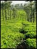 Tea Lines (Indianature st2i) Tags: valparai westernghats tamilnadu tea indianature india indiragandhiwildlifesanctuary anamalaitigerreserve anamalais anamallais 2016 2017 nature stanmoreestate