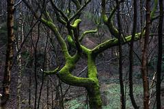 Walk in the woods - Glossop, Derbyshire (Bon Espoir Photography) Tags: woods tree mossy moss winter treetrunks glossop highpeak derbyshire england nikond750