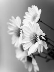 From monochrome streetside (H.H. Mahal Alysheba) Tags: flower macro monochrome lumix gx7 canon ef100mm28l kipon efmft