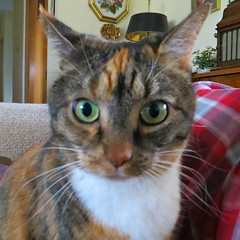The Many Faces of Gracie #5 (19 January 2017) 3260Rif sq (edgarandron - Busy!) Tags: gracie patchedtabby cat cats kitty kitties tabby tabbies cute feline