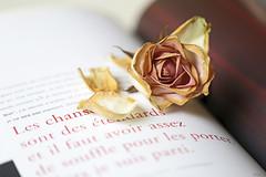 Hommage à Brel (eleni m) Tags: rose roos hommage book livre indoor vieille old fleur flower dof jacquesbrel ledroitderêver photo texte text pétales petals quote