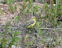 Yellow Wagtail ENR