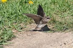 2015 Bank Swallow (DrLensCap) Tags: bird robert bank kramer visitorscenter horiconmarshstatewildliferefugehoriconwisconsinwibirdrobertkramer