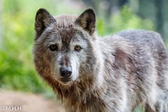 Coby the Gray Wolf (m_hamad) Tags: park portrait usa color green nature beauty closeup canon photography dc wolf farm wildlife explore graywolf nationalgeographic canislupus greatnature naturebeauty supershot 70d ultimateshot dazzlingshot blinkagain instagramapp