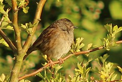 Young Dunnock. (postman.pete) Tags: ocean barcelona show sanfrancisco china california birthday seattle park christmas street old nyc blue autumn red sea party summer portrait sky people blackandwhite bw baby brown snow chicago canada black paris berlin male bird art beach church car birds animals bike rock architecture cat sunrise canon river square photography scotland town photo spring high spain woods nikon san asia raw photos centre country hill moth young band australia s squareformat wren magpie emerald colchester linnet