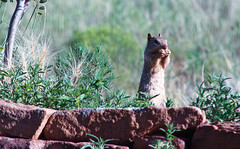 Squirrel Muching 2015_07_09 (Artedgy) Tags: beautiful animals squirrel babysquirrel eldoradoatsantafe artedgy annagurule