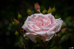 One pink rose, and there will be many more (BraCom (Bram)) Tags: pink flower holland netherlands rose closeup canon petals widescreen nederland roos buds nl 169 roze bloem pinkrose zuidholland goereeoverf