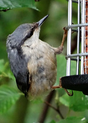 Nuthatch (Brian The Euphonium) Tags: birdfeeder nuthatch sittaeuropaea sonyhx50