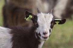 Baby goat (Jessie van Weert) Tags: baby white black holland cute green nature netherlands field grass smiling animal closeup fauna happy photography interesting eyes nikon flickr groen dof looking little outdoor gorgeous adorable natuur goat ears depthoffield explore eat goats tele gras horn fabulous dieren dier depth brabant geit deurne telelens 2015 kijken horens 55300 mariapeel oorlel d3100