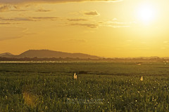 _DSC1746_ED (Rooru S.) Tags: sunset sun field yellow landscape sony a850 dslra850 sal70400g2