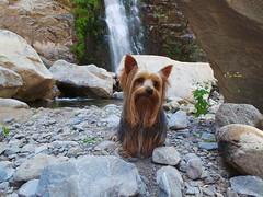 Behave. (porquenomedalagana) Tags: yorkshire perro mascota