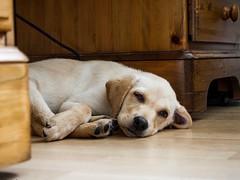 Office dog (Desh2288) Tags: portrait dog labrador sleeeping
