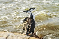 Glenelg sea beach (Sougata2013) Tags: sea nature birds australia adelaide southaustralia glenelg seabeach nikond3200