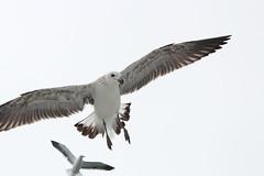 02. Air | The August Break 2015 (fraeuleinfamos) Tags: sea seagulls birds coast flying seaside meer seagull air atlantic soaring vgel mwe namibia oben mwen kste atlantik fliegen walvisbay mven mve flug molamola upintheair ammeer inderluft vogelflug sdatlantik augustbreak2015