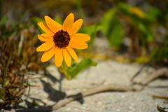 Beachside color (radargeek) Tags: flower beach florida fl sanibel bowmansbeach