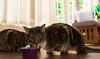 Maxi & Mini. (Alex-de-Haas) Tags: animals cityofedam edam nederland netherlands animal cat cats eating eten feeding feline felines food huisdier huisdieren kat katten pet pets poes poezen voer voerbakje