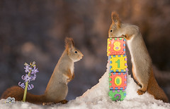 yet another year (Geert Weggen) Tags: red nature animal squirrel rodent mammal cute look closeup stand funny bright sun backlight ice winter snow white holiday time twelve newyear happy eve numbers flower hyacinth geert weggen hardeko bispgården jämtland sweden