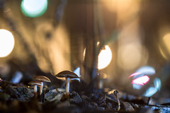 Mushrooms (::Lens a Lot::) Tags: leitz wetzlar macroelmaritr 60 mm f 28 70s | 6 blades iris leica r f28 macro close up closeup bokeh depth field mushroom light night color flare vintage manual german fixed length prime lens west germany nature