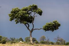 20151116-_DSC2455 (johnsonjeffrey11) Tags: africa botswana treeclimbing