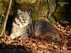 Luchsmädel - Tiergarten Nürnberg - 29.12.2016 (ElaNuernberg) Tags: tiergartennürnberg nurembergzoo tierischebewohner zooanimals zootiere zoo luchs