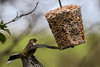 Chaffinch (mlomax1) Tags: 80d avian chaffinch cymru eos80d inflight spinnies wwwt wales bird canon northwales twitcher wildlife