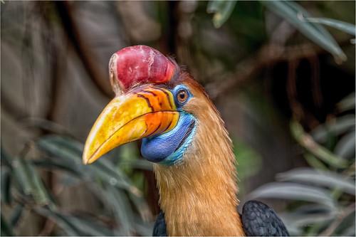 Helmhornvogel ♂