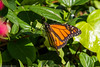 Monarch Butterfly (Danaus plexippus) (BiteYourBum.Com Photography) Tags: dawnandjim dawnjim biteyourbum biteyourbumcom copyright©2016biteyourbumcom copyright©biteyourbumcom allrightsreserved canoneos7d canonefs60mmf28macrousm sigma50500mmf4563dgoshsm canonef1740mmf4lusm apple imac5k lightroom5 ipadair appleipadair camranger lrenfuse focusstacking polaroidautofocusdgmacroextensiontubes manfrotto055cxpro3tripod manfrotto804rc2pantilthead loweproprorunner350aw south coast botanic garden palos verdes peninsula california usa southcoast botanicgarden southcoastbotanicgarden palosverdespeninsula palosverdes monarch butterfly danaus plexippus monarchbutterfly