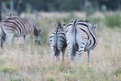 DSC_5434 (mylesm00re) Tags: africa burchellszebra equusquaggaburchellii limpopo welgevondengamereserve za ahsses sebra southafrica
