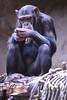 Chimpanzee (Den Gilbert) Tags: animals apes chimpanzee chimp loroparque tenerife wildlife photography portrait animalkingdom nature mobilephone colour