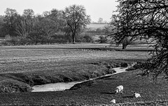 Pastoral scene (Peter Leigh50) Tags: wistow river sence sheep gulls crows field trees farmland