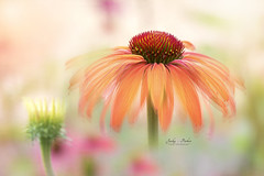 Echinacea 'Hot Summer' (Jacky Parker Floral Art) Tags: echinacea hotsummer flora bloom flower single peach closeup macro selective focus floatypetals creativeedit horizontalformat landscapeorientation outdoors nopeople floralart freshness fragility beautyinnature flowerphotography macrophotography naturephotography colourimage nikon uk