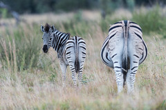 DSC_5438 (mylesm00re) Tags: africa burchellszebra equusquaggaburchellii limpopo welgevondengamereserve za ahsses sebra southafrica