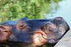 """Sweet Dreams"" (Jan Nagalski) Tags: animal zoo zooanimal captiveanimal mammal huge large enormousanimal nature snout riverhippopotamus hippo water denverzoo denver colorado jannagalski jannagal funny humorous"