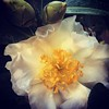 White and Yellow Camellia Flower and Buds Such an exuberant display from this camellia at the nursery. It makes you want to taken it home and add it to your own garden. #camellia #flower #garden #nature #plants #plantsofinstagram #ig_garden #flowersofinst (dewelch) Tags: ifttt instagram white yellow camellia flower buds such an exuberant display from this nursery it makes you want taken home add your own garden nature plants plantsofinstagram iggarden flowersofinstagram flowerstagram treestagram rainbowpetals ignaturelovers ignaturepictures ignaturesbest 24earth