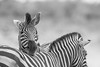 I can't get enough of Black and White Zebras (rdknight) Tags: safari southernsandssafari southernsands kruger krugernationalpark richarddamianknight outdoorphotography canon7dmkii 300mmf28 southafrica
