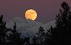 Rising of the Wolf Moon (windyhill623) Tags: moon moonlight moonrise fullmoon beautifullight winter mountain mountainpeak silhouette skyscape wolfmoon fullwolfmoon january januaryfullmoon eveninglight evening lunar sky hughesrange rockymountains eastkootenay britishcolumbia outdoor landscape orange