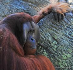 Contemplation--Explored (natural wonders photography) Tags: manoftheforest contemplation orangutan expressive eyes buschgardens tampa naturalwondersphotography greatape hominidae