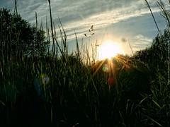 Setting sun through the grass (dksesh) Tags: trees wild plants reed nature grass walking freshair reserve panasonic fitness twigs bushes hounslow seshadri sesh harita naturewalking panasonicdmcfz38 dmcfz38 dhanakoti haritasya seshfamily hounslownature fireshwildnessair